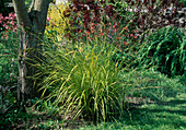 Carex elata 'aurea' syn. 'Bowles Golden' (Stark Gold Sedge)