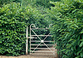 Garden gate out of Prunus laurocerasus (cherry laurel) hedge
