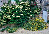 Hydrangea petiolaris, Phlomis fruticosa