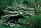 Viburnum plicatum Mariesii-Japanese snowball