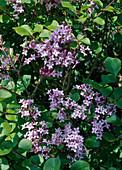 Syringa meyeri 'Palibin' (dwarf lilac)