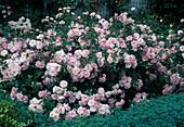 Rosa 'Bonica' shrub rose, often flowering, barely fragrant, world rose