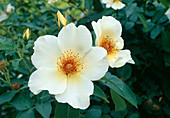 Pink 'Golden Wings', more flowering, light scent