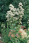 Flowering valerian in the bed with astilbe