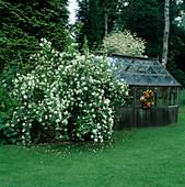 Philadelphus 'Belle Etoile' (pipe shrub), greenhouse, lawn
