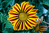 Gazania rigens 'Big Kiss Yellow Flame' (treasure flower)