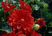 Dahlia 'Arizona Red' (Dahlia)