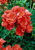 Pelargonium zonal 'Tango Orange' (Standing Geranium)