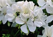 Pelargonium 'Alba' (Stehende Geranie)