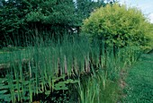 Typha angustifolia (Schmalblättriger Rohrkolben), Numphar lutea (Teichmummel), Salix alba 'Aurea' (Silberweide)