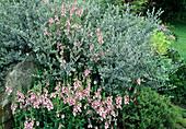 Salix repens 'Dart's Silver', Diascia vigilis