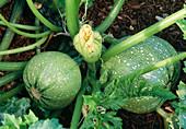 Cucurbita pepo 'Geode' (round zucchini)