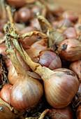 Allium ascalonicum 'Mikor' (onion)
