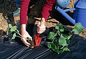 Cucumis / Melone in schwarze Folie (Verdunstungsschutz, Unkrautreduzierung) pflanzen 4. Step: Mit Pflanzschaufel Loch graben und Pflanze einsetzen 4/6