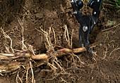 Rhizome von Bambus gewinnen 3. Step: Rhizomstücke abschneiden 3/3