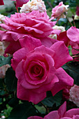 Rosa 'Acicularis Sleeping Beauty', shrub rose, often flowering, light scent