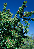 Alustipis for bird control in cherry tree