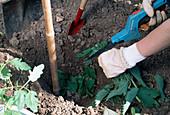 Lycopersicon / Tomate pflanzen 1. Step: Zur Pflanzenstärkung Urtica dioica / Brennessel ins Pflanzloch schneiden 1/5