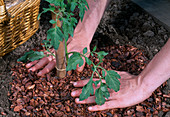 Plant Lycopersicon tomato - distribute bark mulch around plantation