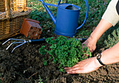 Petersilie pflanzen 3. Step: Pflanze andrücken 3/3
