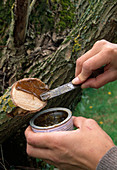 Close the interfaces on the tree from about 2 cm in diameter with wound paste