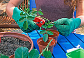 Rose cuttings propagation