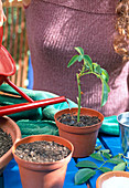 Rose cuttings propagation - gently potted potted cutlery
