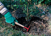 Fertilize pink (rose), work compost with a small rake