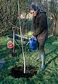 Plant tree, ginkgo biloba (fan tree), watering abundantly