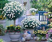 Argyranthemum 'Stella 2000'