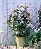 Jasminum polyanthum (scented jasmine)
