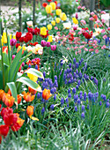 Flower bed with tulipa (tulips)