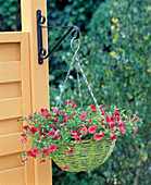 Hanging flower basket with calibrachoa (magic bell)