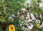 Calibrachoa (magic bells)