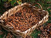 Basket of harvested Corylus avellana (hazelnuts)