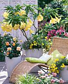 Brugmansia aurea (Angel Trumpet)