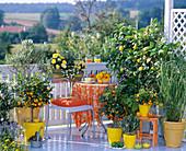 Citrus limon (lemon)