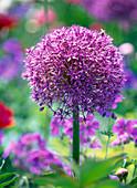 Allium giganteum ' Globemaster ' (Riesenkugellauch)