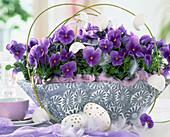 Viola cornuta Patiola 'Pure Light Blue'