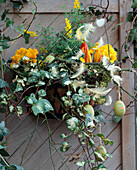 Iron bowl as wall container with coconut mat lined with, primula, cytisus