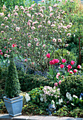 Spring bed with viburnum (scented snowball), Tulipa hybrid