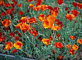 Eschscholzia 'Thai Silk Fire Bush' (red-orange gold poppy)