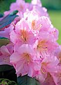 Rhododendron ' Scintillation ' (Alpenrose)