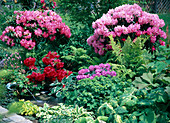 Rhododendron 'Dawn Red', 'Red Jack', 'Alfred'