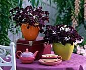 Oxalis triangularis 'Burgundy Wine' (red-leaved clover)