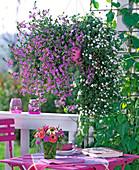 Scaevola 'Saphira' (fan flower)