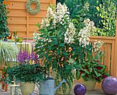 Hydrangea paniculata 'Tardiva' (shrub hydrangea)