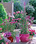 Cosmos 'Versailles Tetra' (garden cosmos)