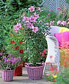 Hibiscus syriacus 'pink Giant' (garden hibiscus)
