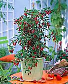 Capsicum frutescens (chili)